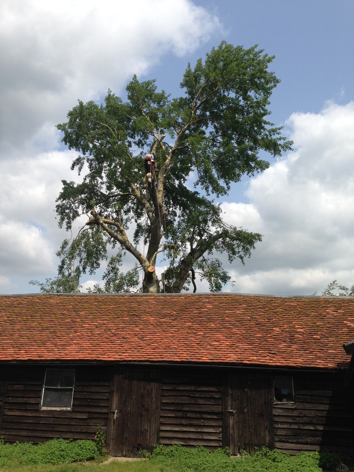 poplar reduction after